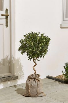 Click to Buy M&S Olive Tree